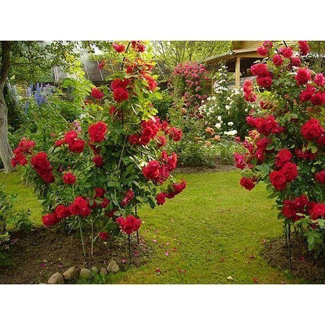 6 ОШИБОК В ВЫРАЩИВАНИИ РОЗ НА ДАЧЕ:  1. Сажая розу в грунт, не следует оставлять прививку на поверхности почвы. Лучше углубить корневую шейку растения на 2-3 сантиметра в грунт.  2. Нельзя обрезать садовые розы на зиму. Так, растение теряет жизненные силы и уходит на зимовку ослабевшим. Обрезать розу лучше весной, удаляя подмерзшие и погибшие побеги до места первой почки на цветке.  3. Розу лучше поливать прохладной водой. Полив – обильный, но редкий.  4. Не следует производить…