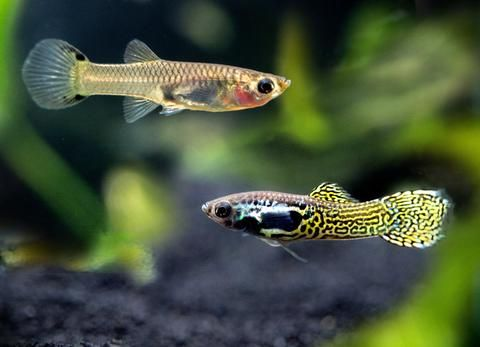 Shrimp Safe Fish (all shrimp) | Aquarium | Fish, Shrimp, Live fish