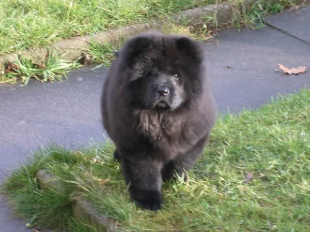 Blue Chow Chow Puppies | Blue Tongue Talk - Any puppy to adult chow photos?