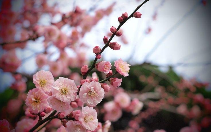 árvore, ramo, damasco, flores cor de rosa, bokeh