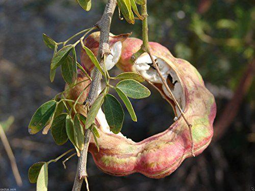 Ice cream bean - growing   Grow Plants