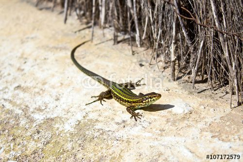 Green lizard on the sand stone in the sun