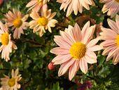 466006 - Chrysanthemum (Chrysanthemum indicum 'Isabellarosa')