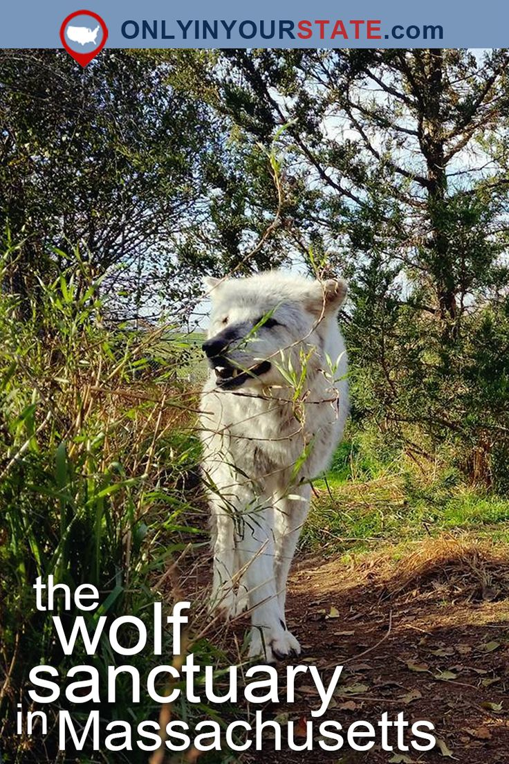 Travel | Massachusetts | Wolf Sanctuary | Wildlife | Animals | Ipswich | Wolf Hollow | Wolves | Wildlife Park | Things To Do | Day Trips | USA | Road Trips | Adventures | Massachusetts Wolf Sanctuary