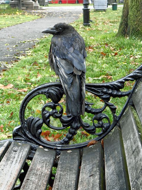 This carrion crow came and perched next to me the other day at Clapham Common, SW London; they seem to be getting much bolder these days..