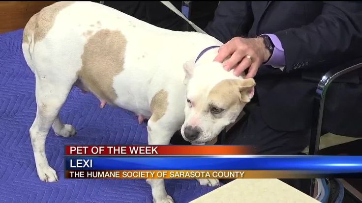 Pet of the Week Lexi From Humane Society Of Sarasota