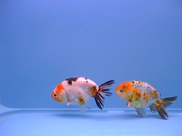 17 best images about goldfish on pinterest ryukin for Live pond fish for sale