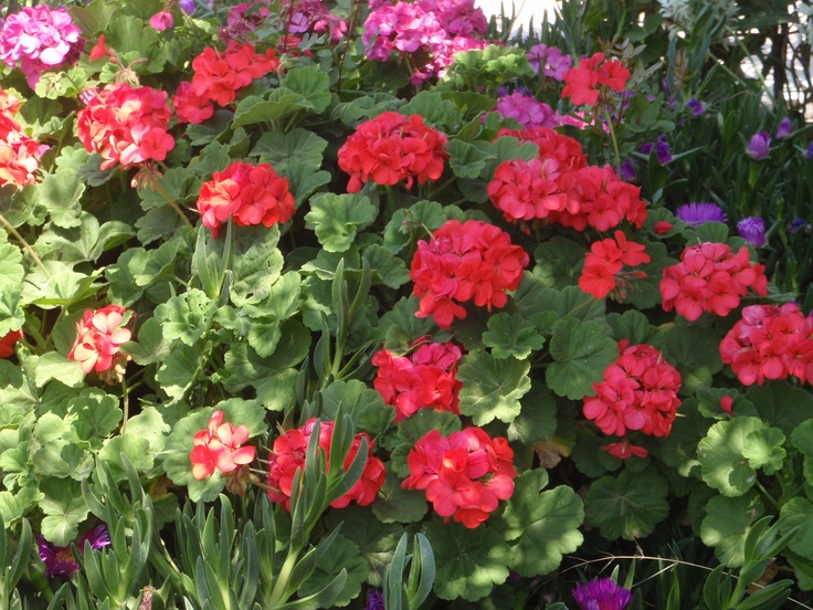 Our good friends, Geraniums, bloom now and will keep us company throughout the summer, at #Villa #Molova  #Molyvos, #Μήθυμνα, #Lesvos, #Greece