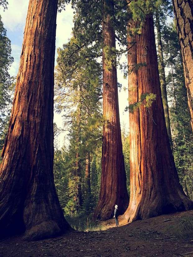 Sequoia National Park, dans l'est de la CalifornieJuste au sud de Yosemite, se dresse la forêt des séquoias géants. Des conifères que l'on retrouve également sur la côte pacifique. La star du parc national : le General Sherman, un sequoia haut de presque 84 mètres. Cet arbre, vieux de 2 200 ans, détient le record du tronc le plus massif au monde, avec une circonférence de 31 mètres à sa base !Voir l'épingle sur Pinterest / Via coffeeinthemountains.tumblr.com