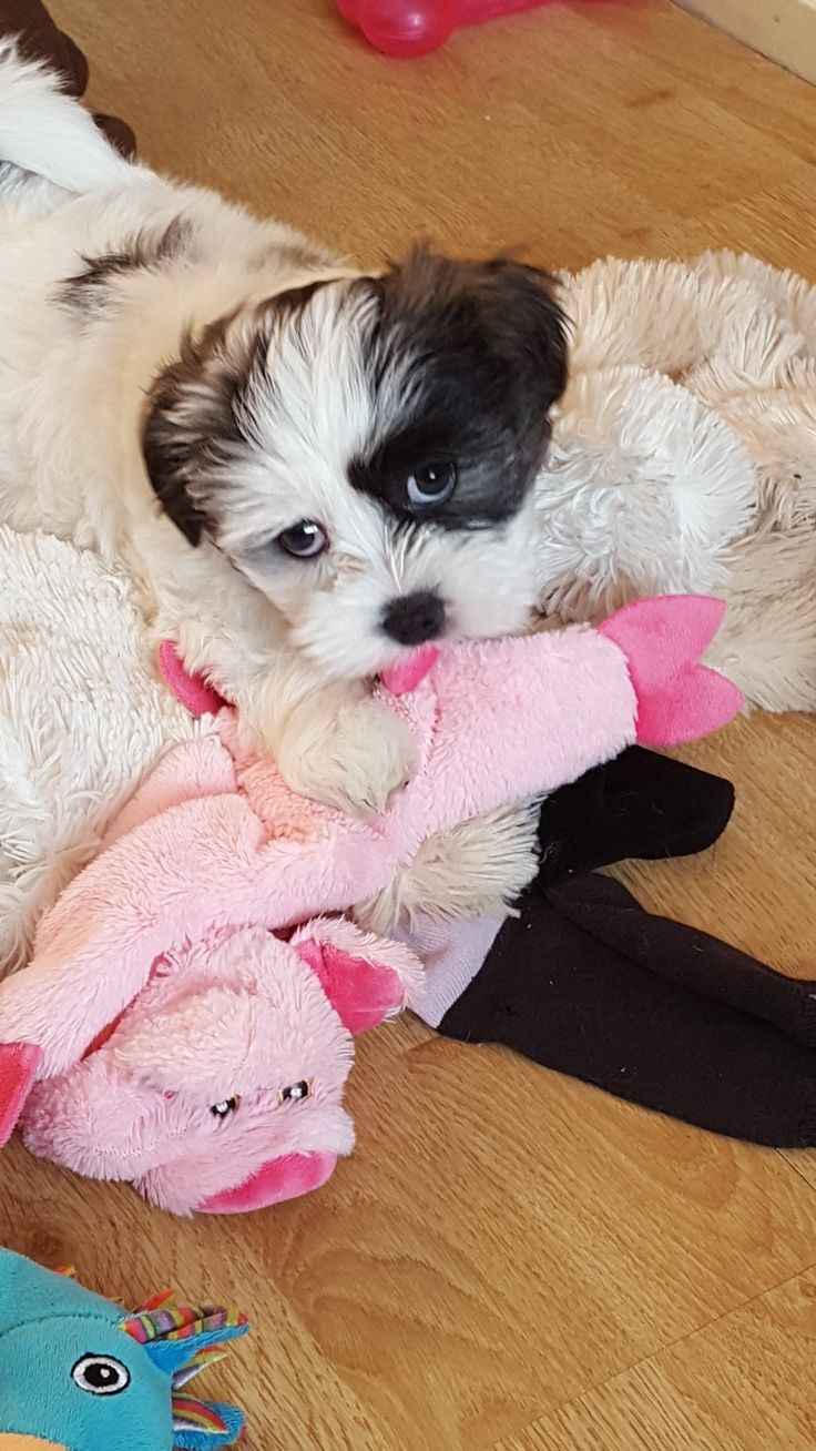 Shichon puppies for sale in kentucky - Our New Shichon Puppy Lily 8 Weeks Old
