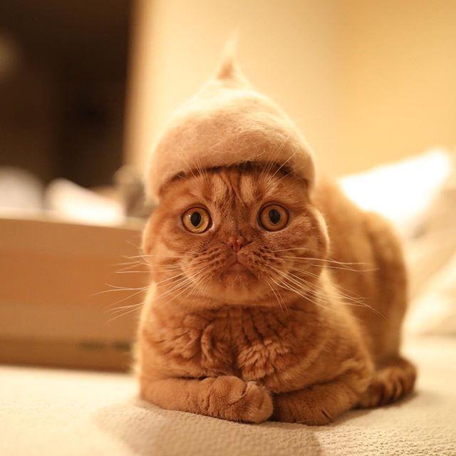 紆余曲折ありましたがやっと定番の形になりました🌰✨ 秋色コーデにオススメのどんぐり帽が入荷 #抜け毛サロン #秋の新作🌾 #抜け毛貯金 #換毛期 #catヘアカタ2016 Brand-new acorn cap has just arrived!🌰✨ #cat #scottishfold #neko #catstagram #catsofinstagram #catlover #instacat #gato #chat #猫 #ねこ #ネコ #ふわもこ部 #もふもふ #スコティッシュフォールド #茶トラ