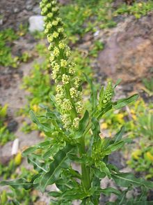 Common names to Reseda luteola include 'Dyer's Rocket', 'Dyer's Weed', 'Weld', 'Woold', and 'Yellow Weed'.