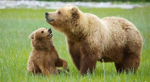 Grizzly bears have a distinctive hump on their shoulders, and long claws about two to four inches long. Both the hump and the claws are traits associated with a grizzly bear's exceptional digging ability. Grizzly bears are omnivores, and their diet can vary widely. They may eat seeds, berries, roots, grasses, fungi, deer, elk, fish, dead animals and insects. Grizzly bears have a better sense of smell than a hound dog and can detect food from miles away!