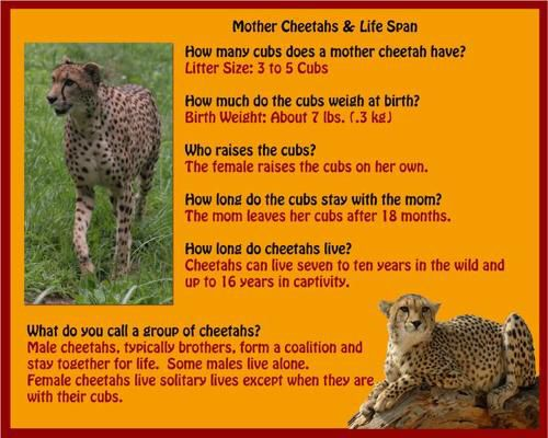 a biography of the cheetah in its natural habitat Special adaptations help them reach speeds up to 60 mph learn more cheetah facts at animal fact guide  but the male offspring often stay together for life .