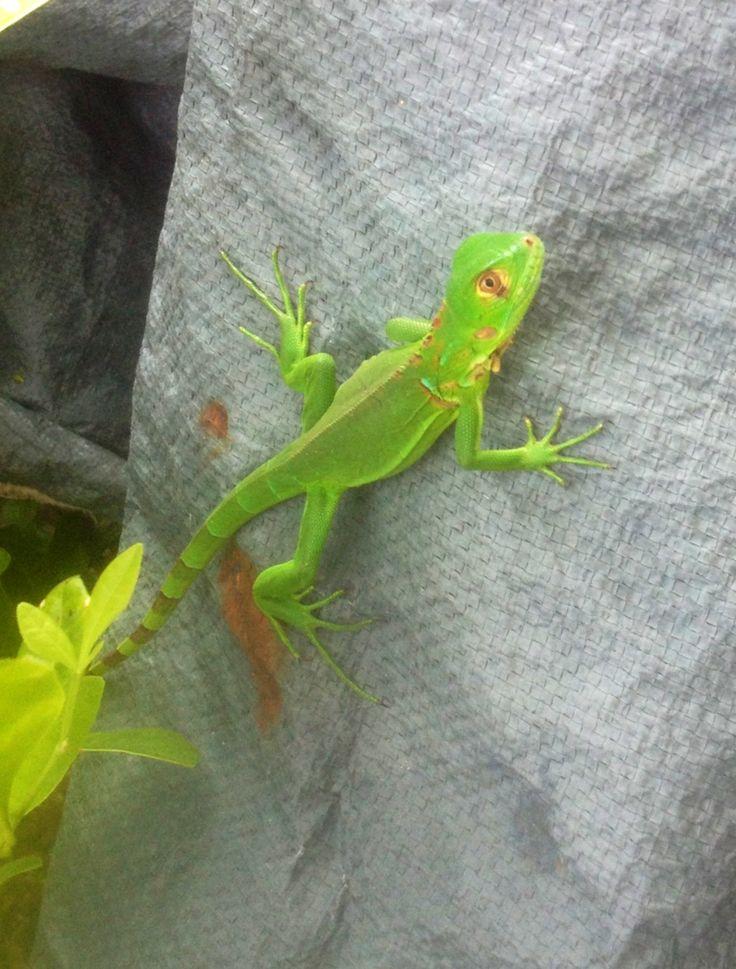 Una Iguana bebe en Cerritos!