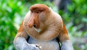 Mono narigudo. Isla de Borneo