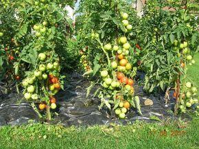 Помидоры - ленивый способ выращивания. Обсуждение на LiveInternet - Российский Сервис Онлайн-Дневников