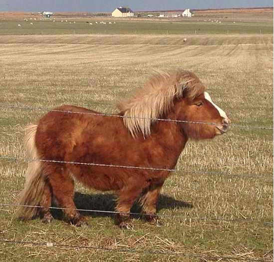 Chunky little Shetland pony with a big ole belly. Mini ponies. Miniature animals. Fuzzy pets. My little pony.