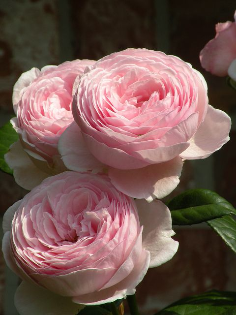 Pink - Geoff Hamilton Rose  One of my favorites!  So soft and fragrant.  Austin rose <3