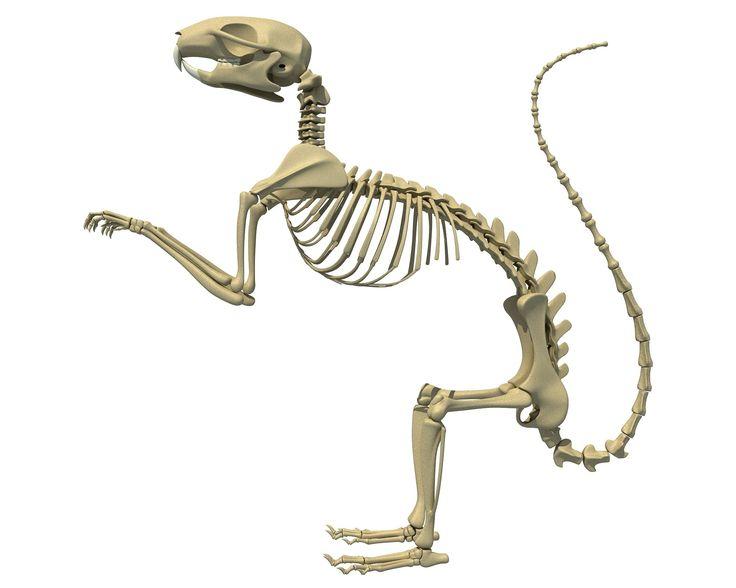 Eichhörnchen Skelett
