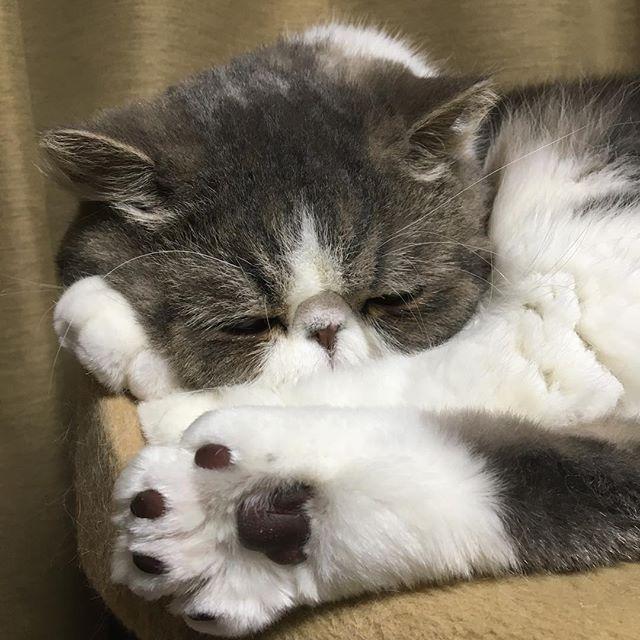 exotic.toshi もうすぐ寝ます。 #ムスカ#cats#cat#pets #pet #cute #catiloverclub #猫 #エキゾチックショートヘア#twitterweek#exoticshorthair#cat_features#instacat#catsgram#catsofinstagram#kitten#meow#catlover#catsagram#catlovers#cat_features#catlife#catlove#catsgram#cutecat#cutecats#Instagramjapan#topcatphoto#kittylove#mycat#instacats#instacat#ふわもこ部  2017/04/15 18:30:36
