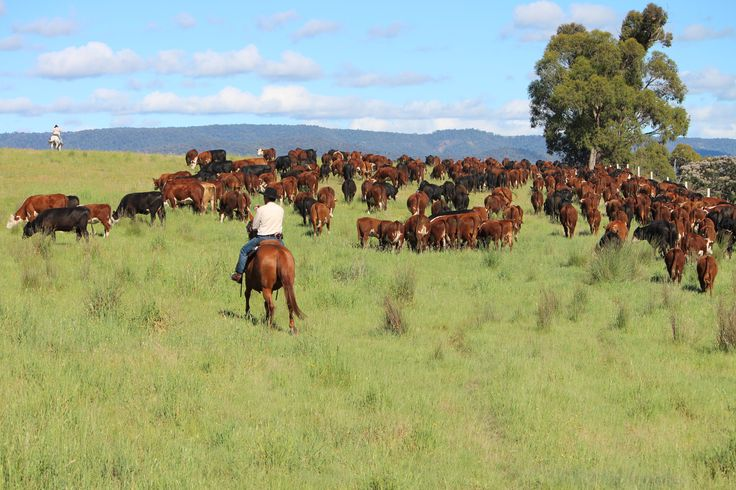 Forge's Annual North East Heritage Cattle Drive, Victoria, Australia.