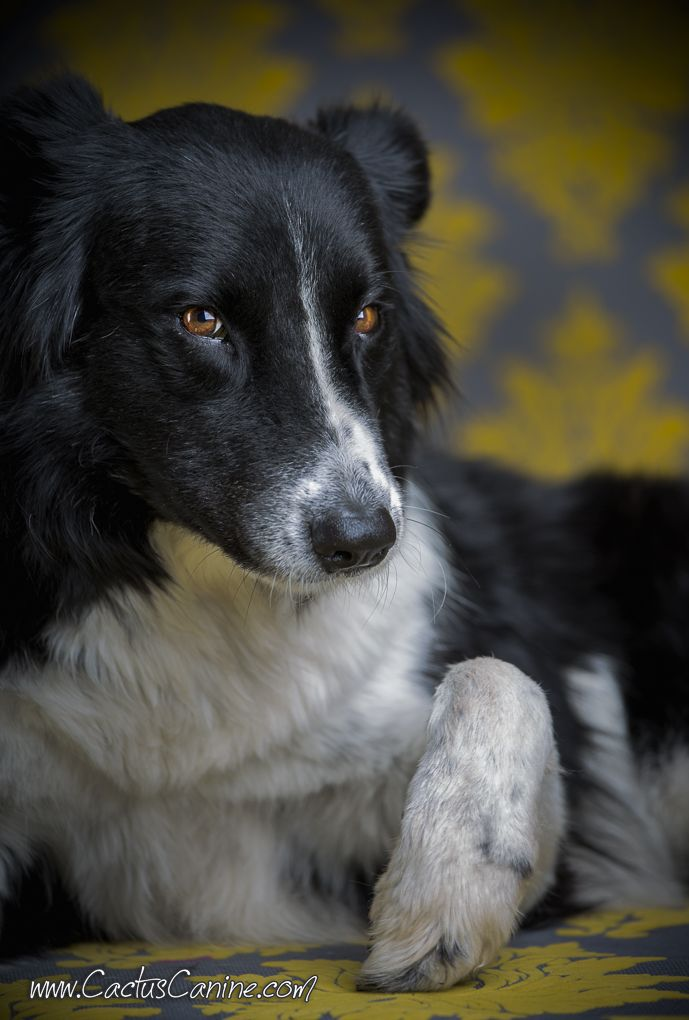 Looks intense, but is really just a teddy bear. #BorderCollie #CactusCanine