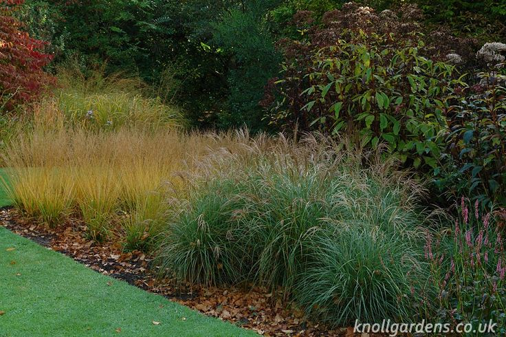 Miscanthus Starlight | Knoll Gardens | Ornamental Grasses and Flowering Perennials