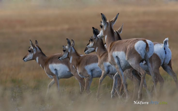 Pronghorn | Pronghorn Antelope , wildlife wallpapers, desktop wallpapers