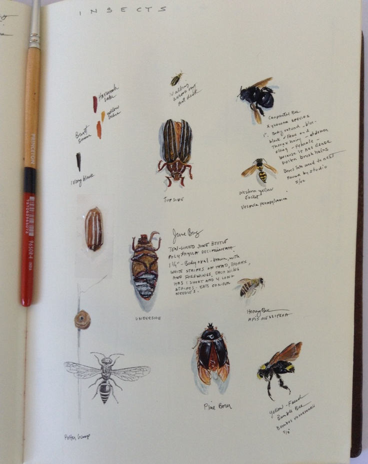 A page from my nature sketchbook. Insects. Nature, journal, sketchbook, notebook, dairy, words and images, drawing.