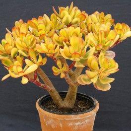Les 25 meilleures id es de la cat gorie crassula ovata sur for Plante grasse arbuste