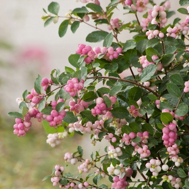 Роскошные ожерелья снежноягодников Доренбоза  Снежноягодники – одни из самых эффектных декоративно-ягодных кустарников. Но даже в роду этого признанного фаворита, украшенного ожерельем ягод, есть свои звезды. Самые красивые розовые ягоды характерны для гибридных снежноягодников Доренбоза.