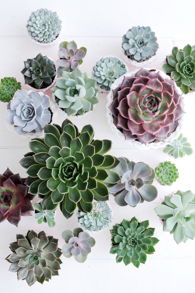 Pattern of succulent cactus plants viewed from above. Such pretty spiral patterns.