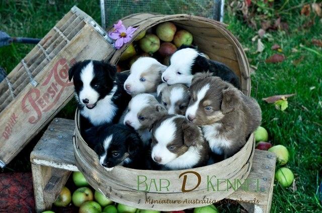 mini aussie puppies for sale - Google Search