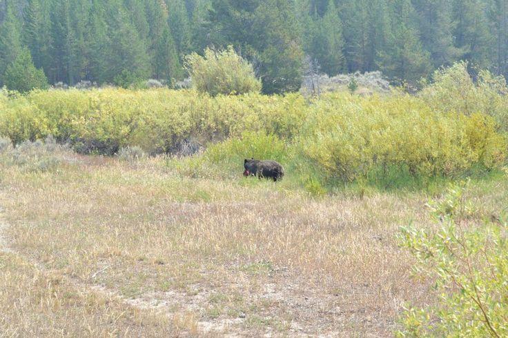 Bear!!! Grand Teton National Park.