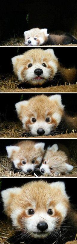 I baby red panda... love me.