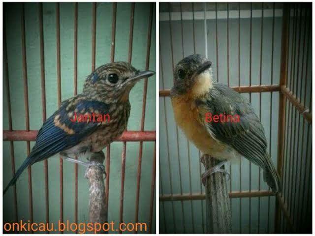 Pin Oleh Surya Supriatna01 Di Bird Betina
