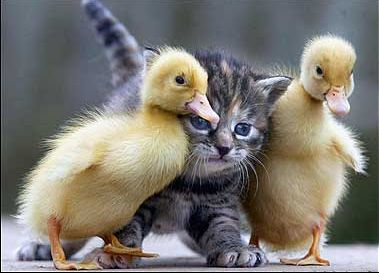 Duck bodyguards. Cute kitty.