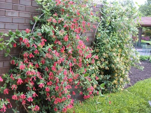 72 best images about plants  shrubs for south texas on pinterest