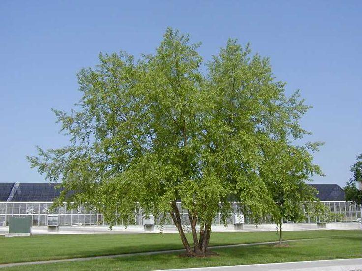 Betula nigra/river birch