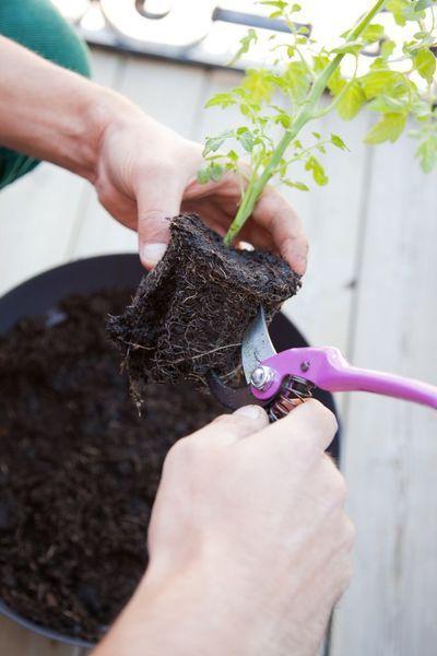 Les 25 meilleures id es de la cat gorie planter tomate cerise sur pinterest plant de tomate - Comment planter des tomates cerises ...