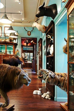 I'm happy this parisian taxidermy shop, Deyrolle, recovered after a 2008 fire. I plan to visit in July and maybe finally I'll find something for those alcoves in our front hallway. Not a lion, probably.