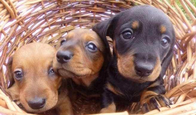 Miniature Dachshund Rescue Ohio Dachshund Rescue Dachshund Pets