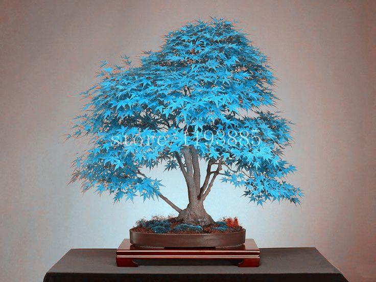 20 azul bonsai sementes da árvore de bordo sementes de árvores Bonsai. céu azul rara de bordo japonês sementes Varanda plantas para jardim de casa