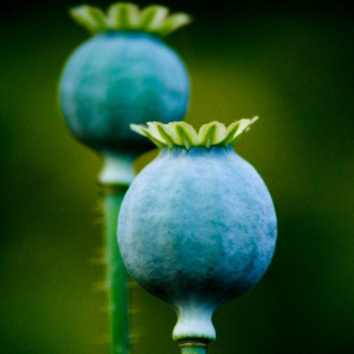 blue poppy pods. very cool looking