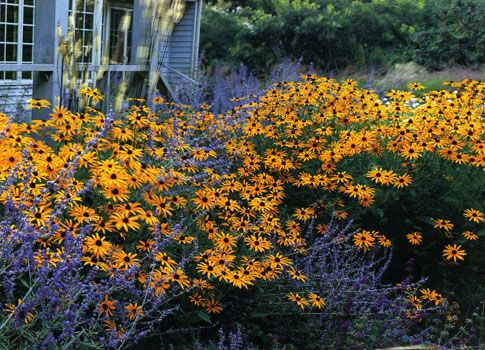 GardenDesigns+more: Perfect mates    Black-eyed Susans and Russian Sage