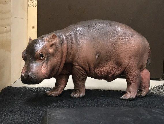 Hippo Baby Blog #3: Little Hippo, Big Personality   Cincinnati Zoo Blog