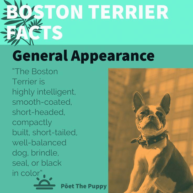 Boston terrier facts animal fashion pet style puppies