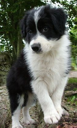 Border Collie - awesome family pets