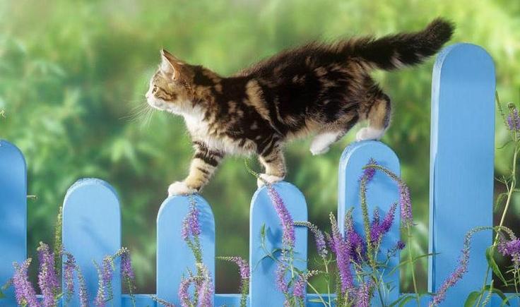 Springtime in the gardenSummer Day, Catwalks, Cat Walks, Blue, Funny Cat, Picket Fence, Cute Cat, Kittens, Funny Animal